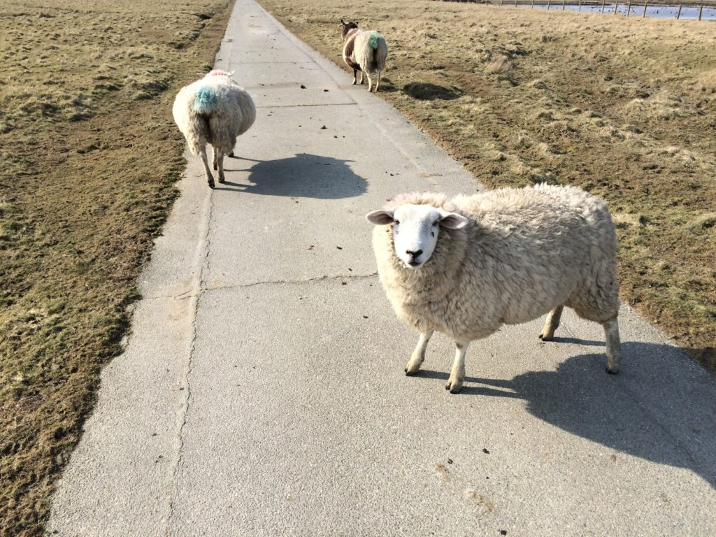 Schafe (Gröde)