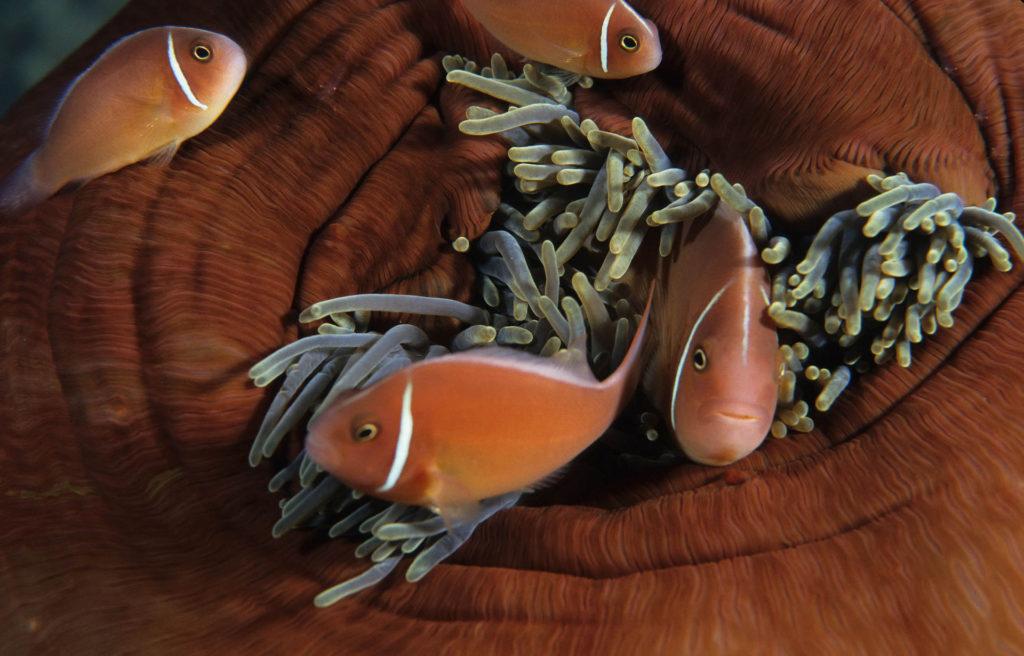 Halsband-Anemonenfisch