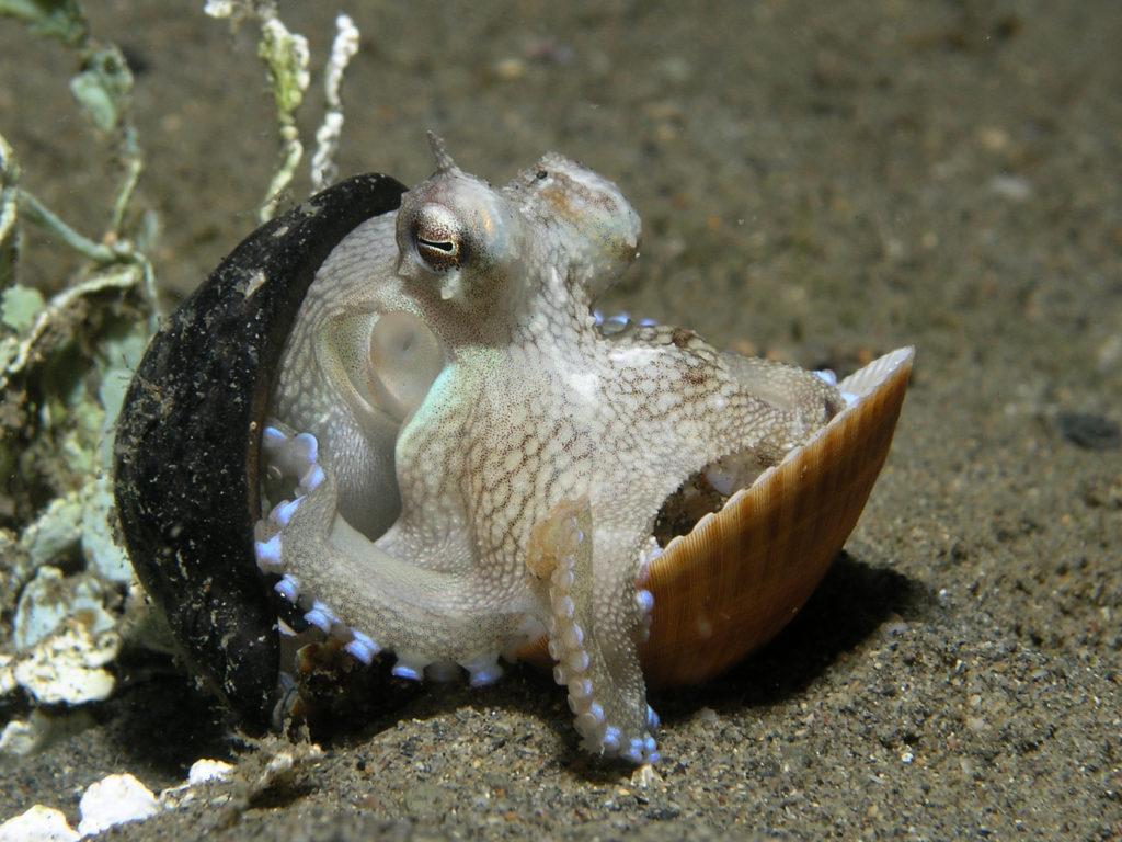 Ader-Oktopus